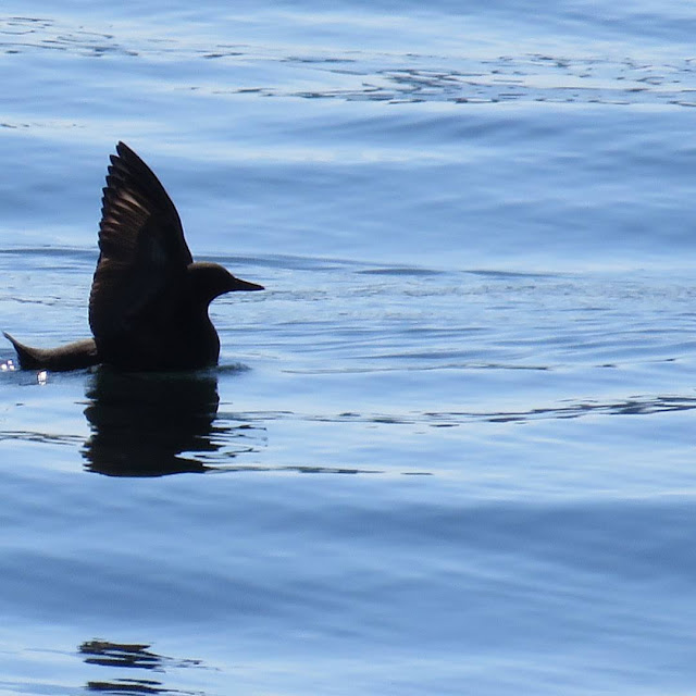 Unique Things to Do in Seattle - Birdwatching - Pigeon Guillemot on Puget Sound