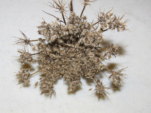 Queen Anne's Lace seedhead
