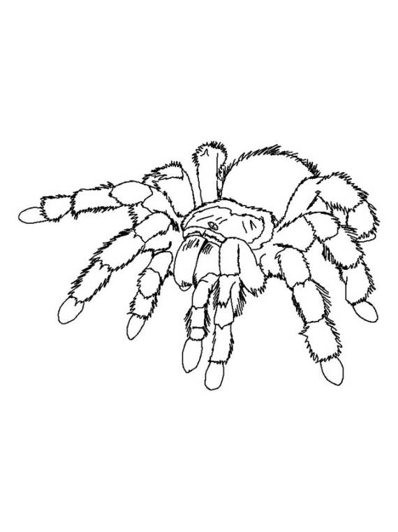 tarantola, ragno, veleno, animali pericolosi,