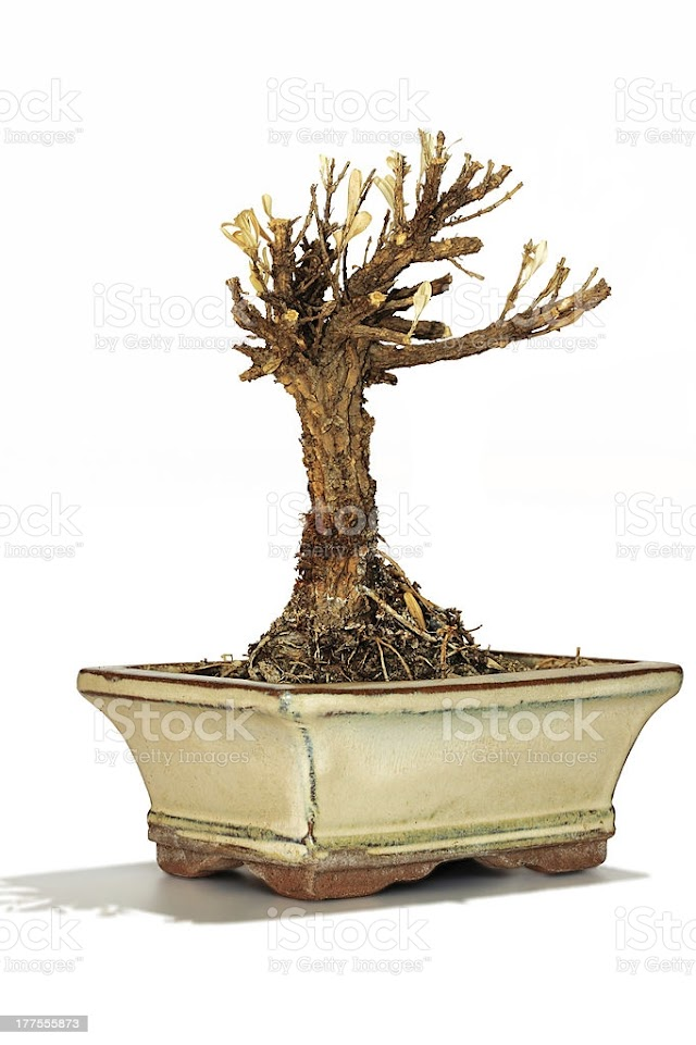 what to do with a dead bonsai tree