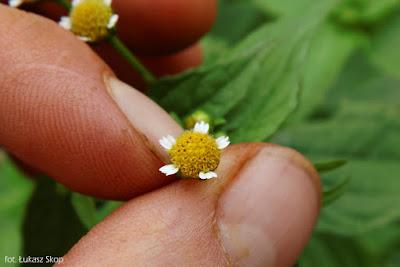 kwiat żółtlicy