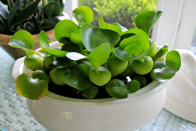 Indoor Water Gardens My indoor water garden crafts a la mode indoor water garden also i love seeing the live greens in the house these water hyacinths are easy to grow also workwithnaturefo