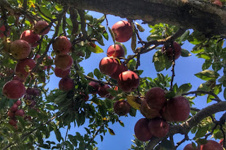 An apple orchard in Virginia