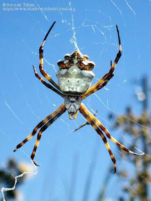 Araña tigre (Argiope argentata)