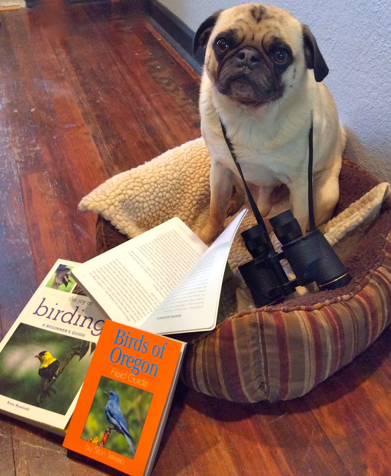 Pug sitting with his binoculars and birding books