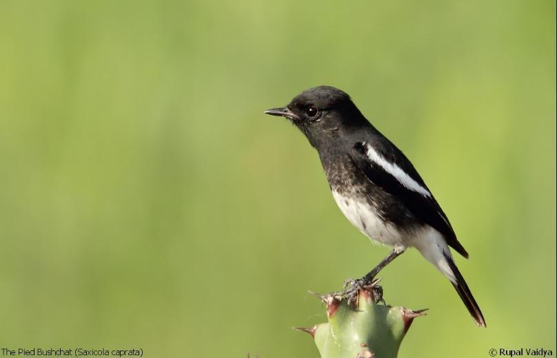 gambar burung decu