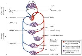 Urutan Sistem Peredaran Darah Besar