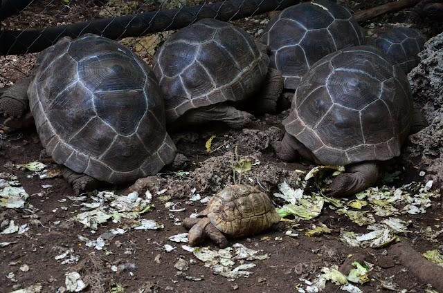 Zanzibar - Prison Island (Changuu) - Turtle