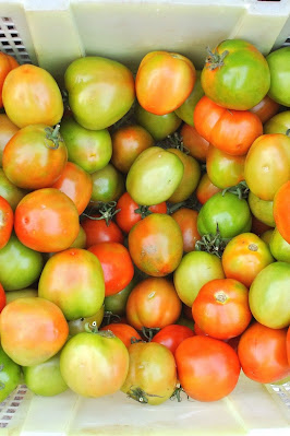 Fall harvest unripe tomatoes in basket