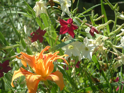 Close up of a daylily and multiple nicotiana flowers in the sunlight