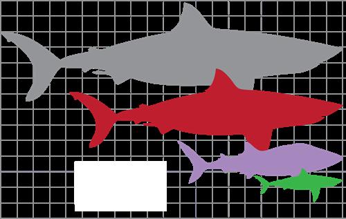 Carcharodon Megalodon, Raja dari Rajanya Hiu Yang Mampu Hancurkan Kapal