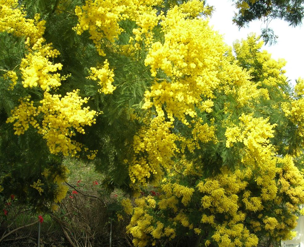 Acacia Arabica Lam Willd Samagh Arabi