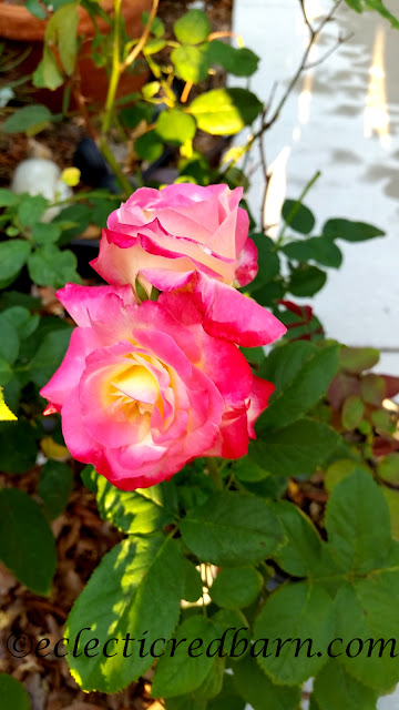 Interesting Rose. Share NOW. #roses #plants #eclecticredbarn