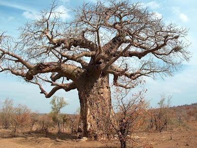 Pohon Baobab Pohon Raksasa Dari Afrika