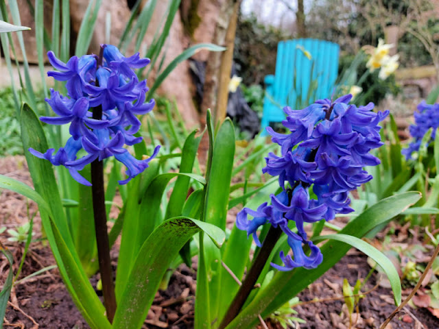 Blue hyacinth flowers in a border. A blue garden chair is in the background
