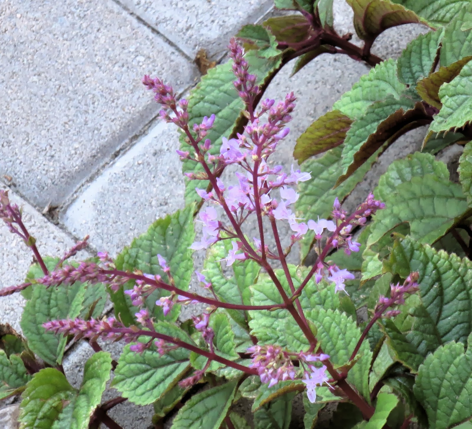 late to the garden party  my favorite plant this week  plectranthus ciliatus  u0026 39 zulu warrior u0026 39