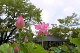 蓮の花とつぼみ