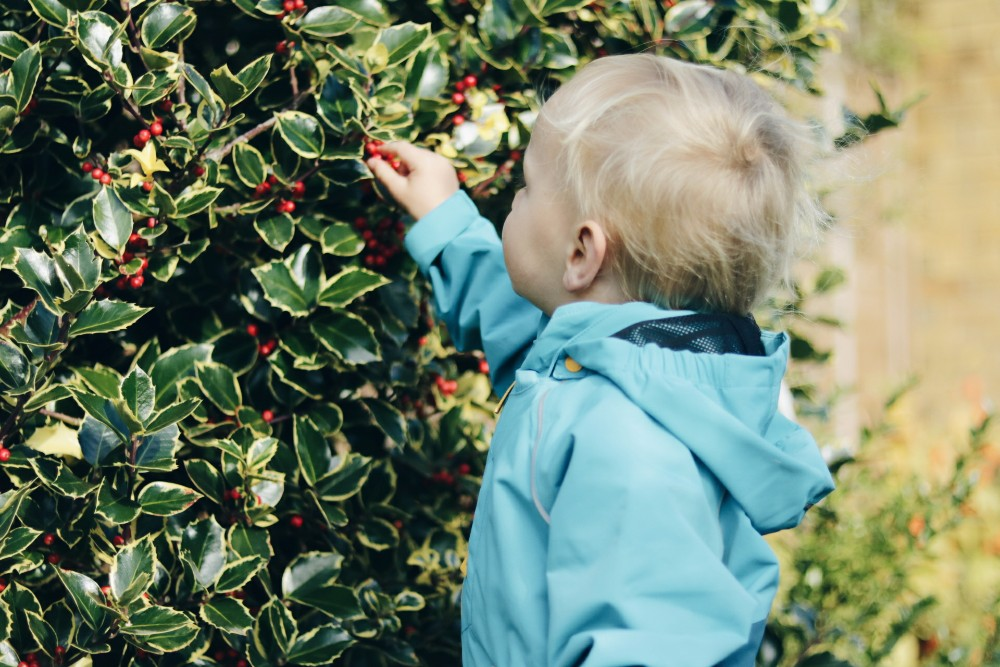 blonde-toddler-boy-wearing-blue-coat-picking-red-berries-from-holly-bush