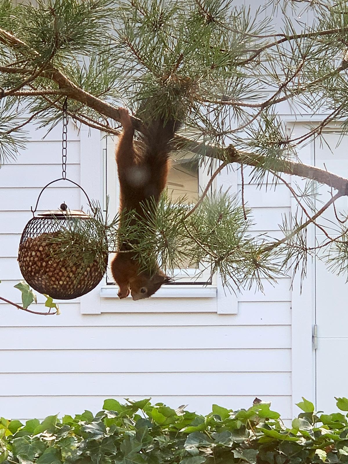 Ekorre äter nötter ut fågelmatare
