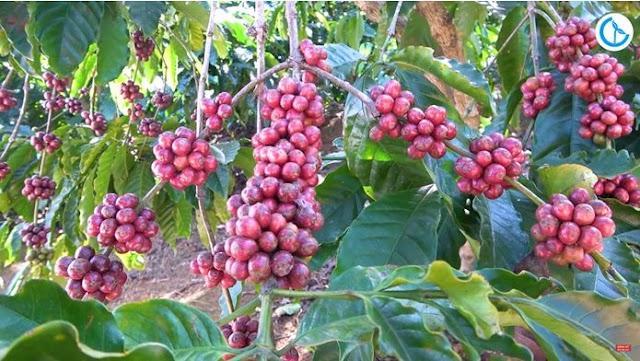 Giá cà phê hôm nay 19/7: Giá cà phê trong khoảng 35.300 - 37.700 đồng/kg