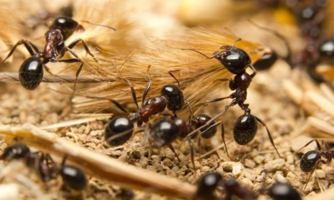 نمل يجمع غذائة لتخزينه