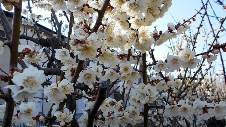 咲き誇った梅の花