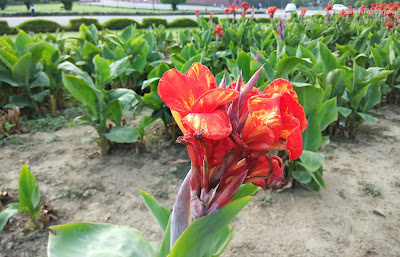 canna_lily_flower