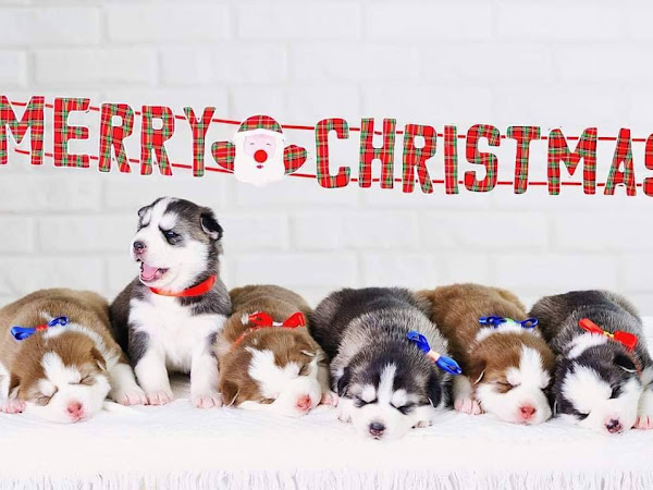 Only 1 Miniature Husky Holiday Pup Left!