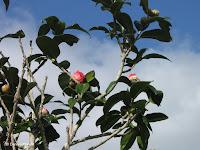 Bright pink flower buds - Botanical garden north of Hilo, Hawaii