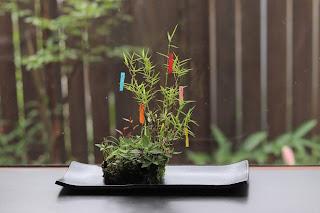 黒軸カリヤスにちいさな短冊をつるした山野草盆栽