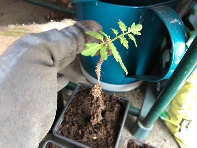 Easing seedling into new compost