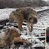 Anjing Berani Sanggup Sabung Nyawa Temani Pasangan di Landasan Selama 2 Hari, Biarpun Keretapi Lalu atas Mereka