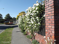 Rose-covered wall, Christchurch - South Island, New Zealand