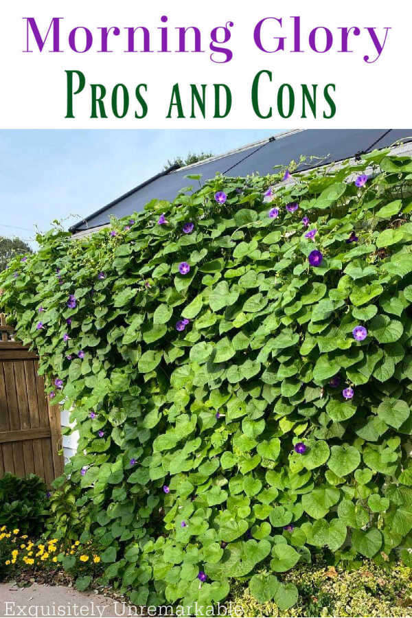Morning Glory Pros and Cons