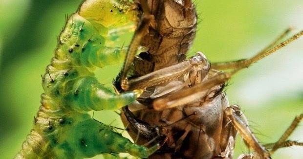Tem Na Web - Licença para matar: as incríveis lagartas carnívoras