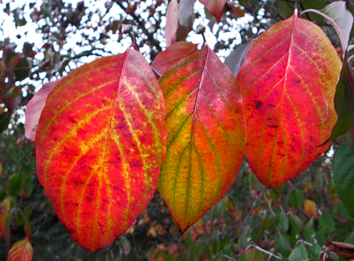 Three red and green and yellow dogwood leaves