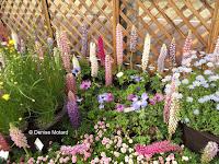 More lupins, flower show - Kyoto Botanical Gardens, Japan