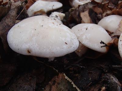 grzyby 2016, grzyby w listopadzie, grzyby w parku, grzyby w mieście, trzęsak pomarańczowy Tremella aurantia, gąska-ziemistoblaszkowa-Tricholoma-terreum, gąsówka mglista Lepista nebularis,  żagiew-zimowa-Polyporus-brumalis