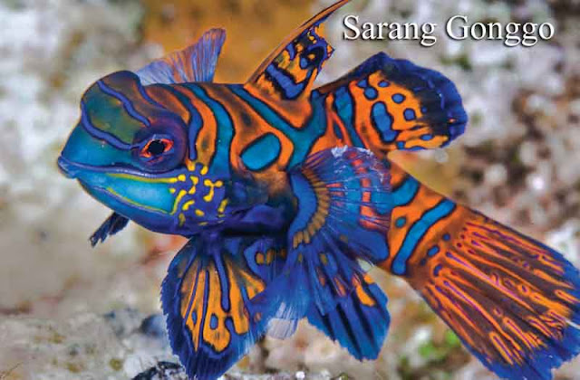 Cara memelihara ikan mandarin
