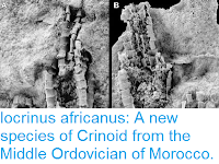 https://sciencythoughts.blogspot.com/2015/12/iocrinus-africanus-new-species-of.html