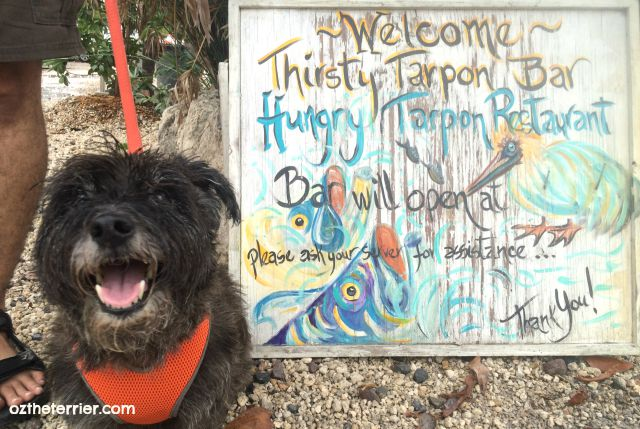 Oz the Terrier loves visiting Robbie's Marina in dog-friendly Islamorada, Florida Keys