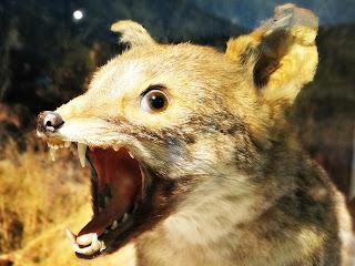 Raposa-cinzenta-argentina, Museo Moyano de Mendoza