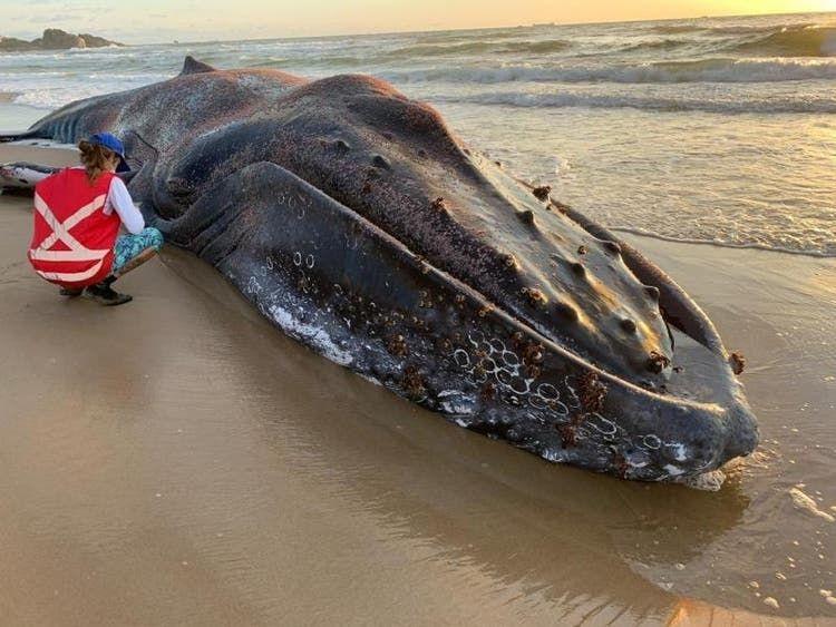 Recorde de morte de baleias Jubarte preocupa pesquisadores