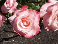 Mary's Love roses - Wellington Botanic Garden, New Zealand