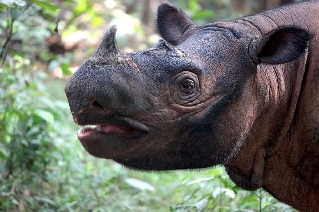 gambar fauna badak sumatera