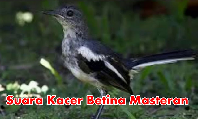 Suara Kacer Betina Untuk Masteran