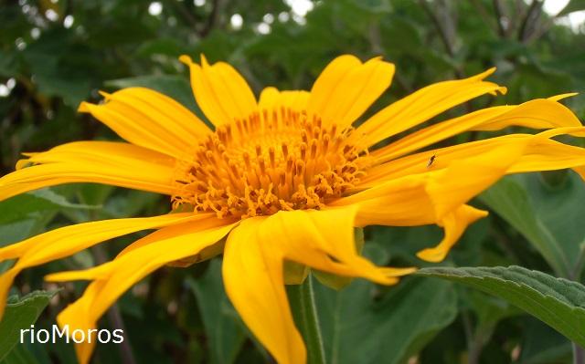 Flor de Botón de oro Tithonia diversifolia