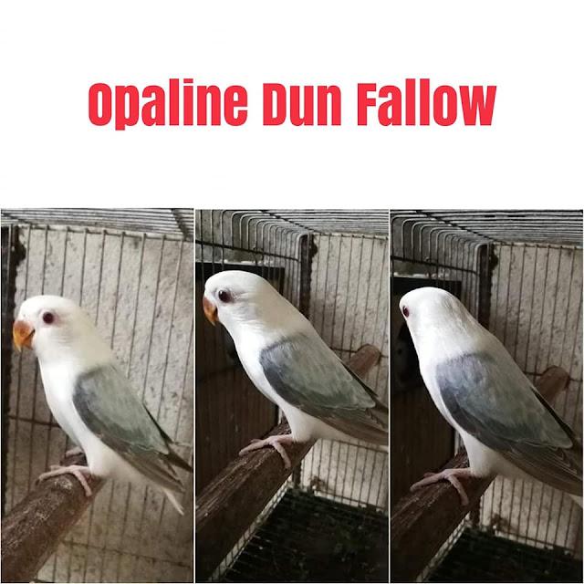 lovebird dun fallow