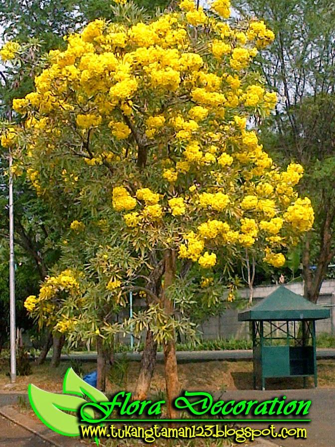 alt=jual-pohon-tabebuya