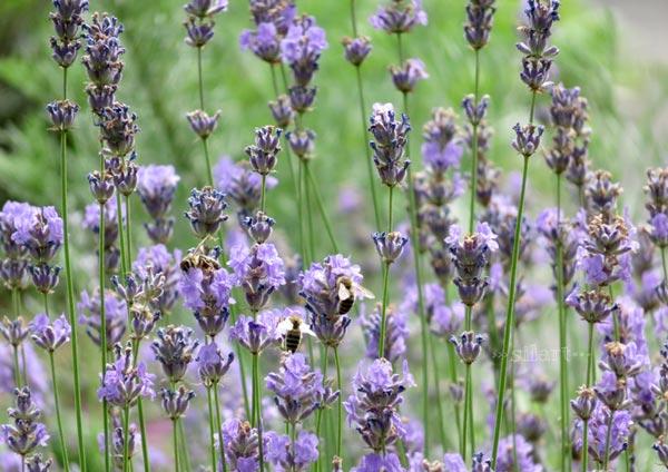 Lavendel love